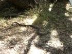 Serpent dagereux australie / Dangerous snake australia
